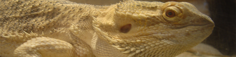 Bearded dragon: Force-feeding