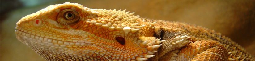 Bearded dragon / Pogona Vitticeps