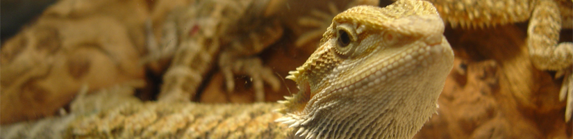 Origin of the bearded dragon