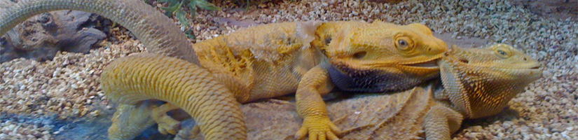 Bearded Dragon: Fertilization