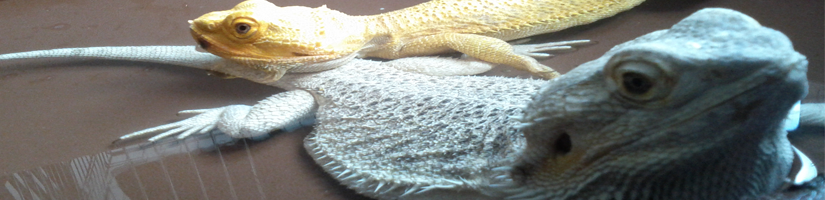 Water requirements of the bearded dragon
