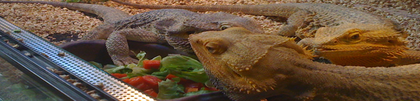 Bearded dragon: Plant diet