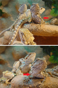 Bearded dragon: Discoloration