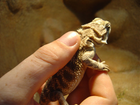 Handling bearded dragons in a safe way