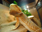 Handling bearded dragons can cause stress